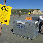 Northern Elephant Seal, (Mirounga angustirostris)  Volunteers from Marine Mammal Center prepare to release Kona at Point Reyes Seashore California.