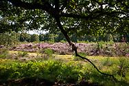 flowering common heather (Calluna vulgaris) in the Wahner Heath near Telegraphen hill, Troisdorf, North Rhine-Westphalia, Germany.<br /> <br /> bluehende Besenheide (Calluna vulgaris) in der Wahner Heide am Telegraphenberg, Troisdorf, Nordrhein-Westfalen, Deutschland.