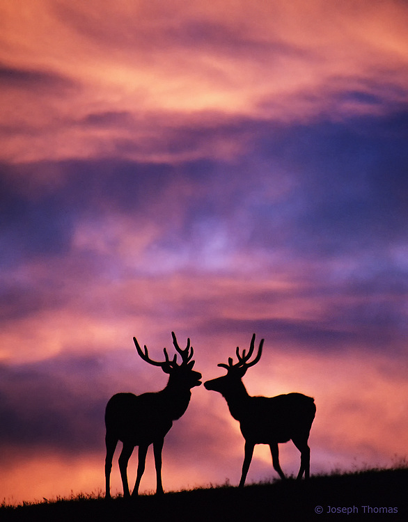 I moved slowly toward these bull elk in the pre-dawn darkness as they grazed, only advancing up the mountain when a wind gust would mask the sound of my approach. Once in position, I exposed for the peach-colored clouds, allowing the elk to register as silhouettes. When they finally looked up, I was ready to capture this extraordinary moment.