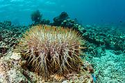 Crown of Thorns Sea Star (Acanthaster planci)<br /> Lesser Sunda Islands<br /> Indonesia<br /> Important plague species damaging coral reefs