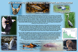 """""""River Herring of the Nemasket Support an Ecosystem"""" Poster was created for educational purposes for the Middleborough & Lakeville Herring Commission of Massachusetts. It is on permanent display at both kiosks in the parks along the Nemasket River."""