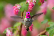 An Anna's hummingbird (Calypte anna) hovers among red flowering currant (Ribes sanguineum) blossoms as it feeds in Snohomish County, Washington.