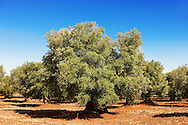Ancient Cerignola olive trees of Ostuni, Puglia, South Italy. .<br /> <br /> Visit our ITALY HISTORIC PLACES PHOTO COLLECTION for more   photos of Italy to download or buy as prints https://funkystock.photoshelter.com/gallery-collection/2b-Pictures-Images-of-Italy-Photos-of-Italian-Historic-Landmark-Sites/C0000qxA2zGFjd_k<br /> .<br /> <br /> Visit our MEDIEVAL PHOTO COLLECTIONS for more   photos  to download or buy as prints https://funkystock.photoshelter.com/gallery-collection/Medieval-Middle-Ages-Historic-Places-Arcaeological-Sites-Pictures-Images-of/C0000B5ZA54_WD0s