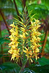 Kahili ginger flower, Hedychium gardnerianum, Hawaii Volcanoes National Park, Kilauea, Big Island, Hawaii, USA
