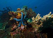 Blue starfish, Linckia laevigata, on coral reef in Tulamben; Bali; Indonesia