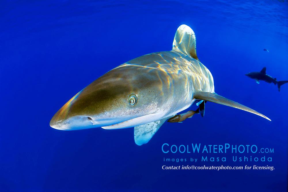 oceanic whitetip sharks with remora, Carcharhinus longimanus, off Kona Coast, Big Island, Hawaii, Pacific Ocean