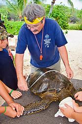 Researcher George Balazs PhD, measuring carapace (turtle shell) of a Green Sea Turtle, Chelonia mydas, at Sea Turtle Research station, organized by NOAA National Marine Fisheries Service (NMFS), Hawaii Preparatory Academy (HPA) students and teachers (NOAA/HPA Marine Turtle Program), and ReefTeach volunteers at Kaloko-Honokohau National Historical Park, Kona Coast, Big Island, Hawaii, USA, Pacific Ocean