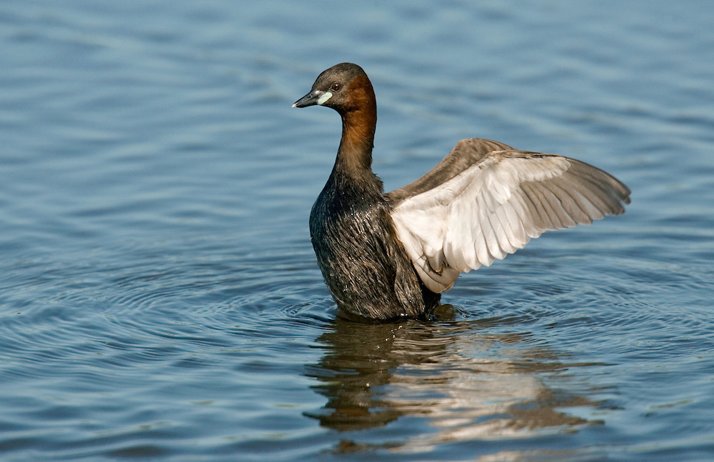 Little Grebe Tachybaptus ruficollis L 25-29cm. Dumpy, buoyant waterbird with powderpuff of feathers at rear end. Dives frequently for fish and aquatic invertebrates. Wings are rounded and uniform grey-brown. Sexes are similar. Adult in summer is mainly brownish but neck and cheeks are chestnut. Pale-tipped dark bill has lime-green spot at base. In winter, has mainly brown upperparts and buffish underparts. Juvenile recalls winter adult but with pale throat and black stripes on face. Voice Utters a whinnying trill. Status Ffairly common resident of freshwater ponds and slow-flowing rivers; in winter, also seen on sheltered coasts and estuaries.