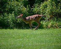Fawn on the Run. Image taken with a Nikon D5 camera and 500 mm f/4 VR lens