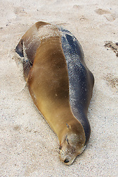 Galápagos Sea Lion With Wet And Dry Fur, San Cristóbal