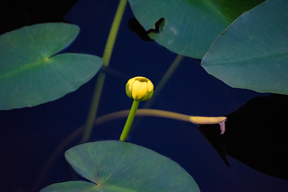 Common in ponds and lakes all over Florida and eastern North America, this native spadderdock is often confused with the water lily, and is found as far north as Nova Scotia. The difference between spadderdock and true water lilies is that spadderdock has heart-shaped leaves and small, half-opened flowers and water lilies have round leaves and large showy flowers. This one was found growing in a lake in Fort Myers, Florida.