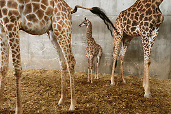 Adis, a three-week-old male South African giraffe calf, stands between his mother and his grandmother at the Jerusalem Biblical zoo on April 10, 2016. EXPA Pictures © 2016, PhotoCredit: EXPA/ Photoshot/ Gil Cohen Magen<br /> <br /> *****ATTENTION - for AUT, SLO, CRO, SRB, BIH, MAZ, SUI only*****