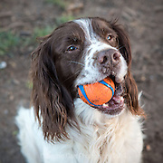 Local dogs in London - this is Quinn the springer spaniel