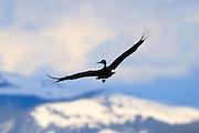 Sandhill Crane, Montana