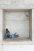 Two pigeons make a nest in a small alcove in the wall in Bikaner, Rajasthan, India