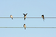 Swallow, Riparia rustica, family group on power lines, Applecross, Ross-shire, Highland.