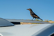 Israel, Dead Sea, male Tristram's Starling or Tristram's Grackle (Onychognathus tristramii) on a hood of a car. Tristram's starling is a species of starling native to the Middle East. Its territory is in the areas of Israel, Jordan, northeastern Egypt (Sinai Peninsula), western Saudi Arabia, Yemen, and Oman, nesting mainly on rocky cliff faces. The species is named after Reverend Henry Baker Tristram, who also collected natural history specimens.