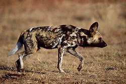 Sept. 29, 2015 - African Hunting Dog, Gauteng Province, South Africa / (Lycaon pictus) / side, freistellbar (Credit Image: © Sator, Whj/DPA via ZUMA Press)