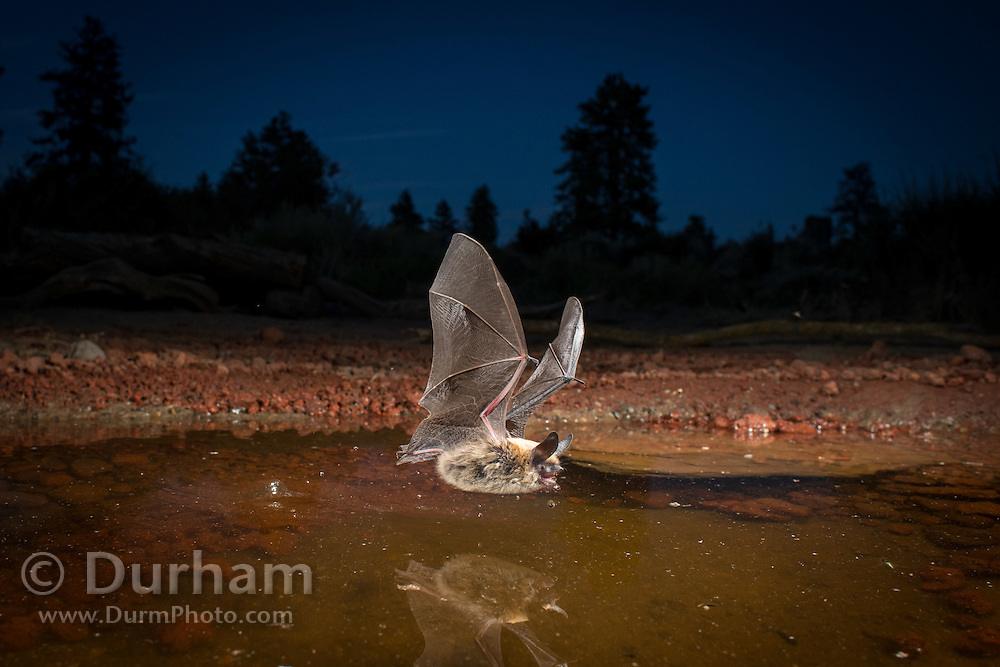 At dusk, a thirsty western long-eared bat (Myotis evotis) comes to drink at a watering hole in the high desert of Oregon.