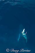 aerial view of humpback whale mother and spy-hopping calf, Megaptera novaeangliae, near Nomuka Island, Ha'apai group, Kingdom of Tonga, South Pacific