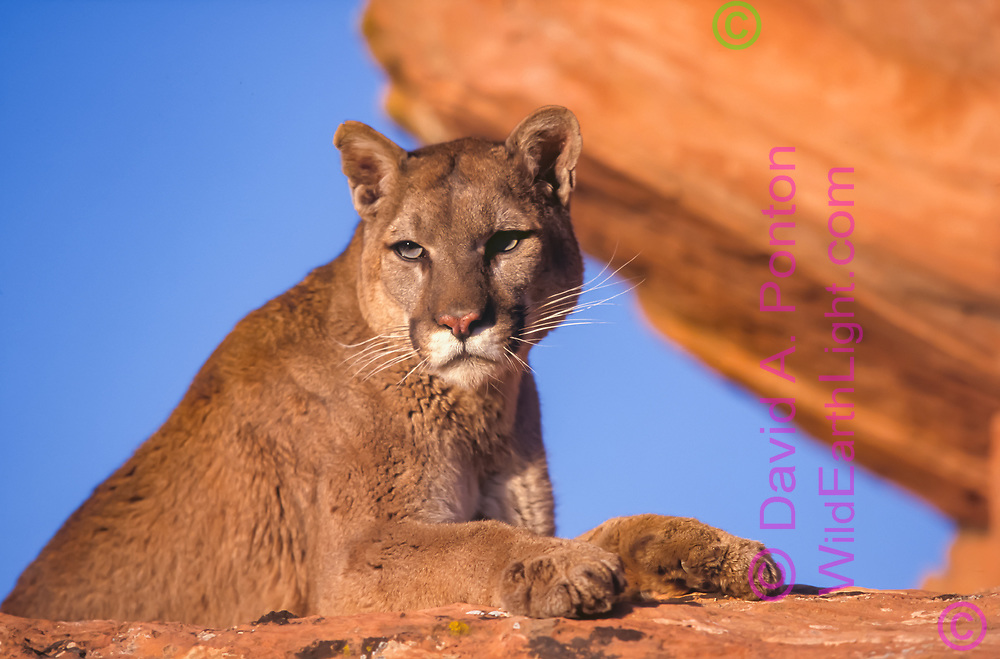 Mountain lion, resting on sandstone ledge, Utah, © David A. Ponton (This animal was born in captivity and is not releasable. It was taken to a natural outdoor setting for photography.)