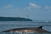 fin whale or finback whale, Balaenoptera physalus, Bay of Fundy, with patches of diatoms visible on skin, near Deer Island and Campobello Island, New Brunswick, Canada