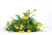 dandelion plant against a white background