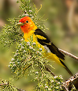 Western Tanager, Lava Beds National Monument, California