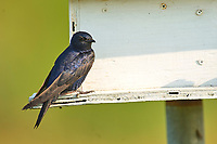 Male Purple Martin on nesting box Wakodahatchee Wetlands Delray Beach Florida