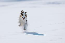 THEMENBILD - ein Australian Shepherd im Schnee in der winterlichen Landschaft, aufgenommen am 12. Februar 2021, Kaprun, Österreich // an Australian Shepherd in the snow in the winter landscape, Kaprun, Austria on 2021/02/12. EXPA Pictures © 2021, PhotoCredit: EXPA/ JFK