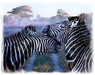 A close-up of two Zebras nuzzling one another one early foggy morning on the Savanna. There are a pair of birds flying in the background and a Giraffe eating from a high tree.