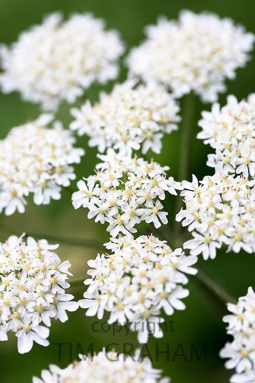Perennial wildflowers in bloom in summer in Gloucestershire, UK