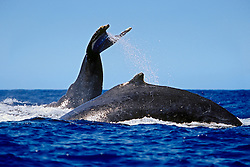 humpback whales, Megaptera novaeangliae,  in competitive group, lobtailing or tail-slapping, Hawaii, USA, Pacific Ocean