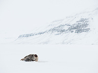 Adult female ringed seal (Pusa hispida) on the ice on the west coast of Spitsbergen, Svalbard, Norway. March.