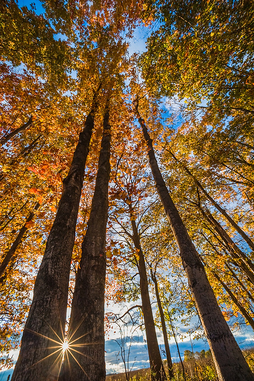 Maple trees (Acer species), afternoon light, October, Emmet County, Michigan, USA