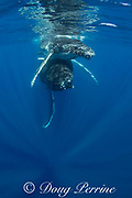 humpback whale mother with calf riding on top of her head, Megaptera novaeangliae, Vava'u, Kingdom of Tonga, South Pacific