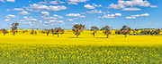 Canola field under blue sky and cumulus clouds near Erin Vale, New South Wales, Australia <br />