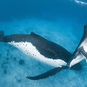 Female humpback whale (Megaptera novaeangliae) resting in shallow water while her playful male calf keeps himself occupied. Photographed in Vava'u, Kingdom of Tonga.