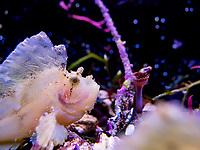 Leaf scorpionfishorpaperfish - Poisson scorpion feuille (Taenianotus Triacanthus)