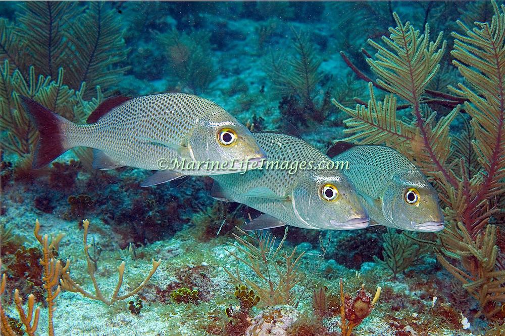 Sailor's Choice inhabit reefs in Tropical West Atlantic; picture taken Key Largo, FL.