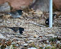 Dark-eyed (pink-sided) Junco. Image taken with a Nikon D300 camera and 80-400 mm VR lens (ISO 800, 400 mm, f/5.6, 1/125 sec).