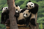Giant panda babies (Ailuropoda melanoleuca) Family: Ailuropodidae.<br /> Wolong China Conservation and Research Center for the Giant Panda within Wolong Reserve. Sichuan Province.<br /> CHINA<br /> RANGE: Temperate bamboo forests of altitudes between 6,500 and 10,000 feet. Central Sichuan, South Gansu, East Qinling and in Shaanxi Provinces of China.<br /> ENDANGERED SPECIES<br /> Less than 1000 animals remain in the wild. Even the death penalty does not deter people from hunting these animals, but they are mostly endangered due to habitat loss.<br /> They consume about 45 pounds of a specific type of bamboo per day as well as some mosses, fungi and even small rodents. Males weigh: 85-125kg's and females weigh: 70-100 kg's. They live 10-15 years in the wild and up to 30 in captivity. Their natural predators are leopards.