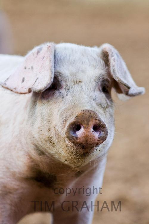 Gloucester Old Spot pig, Gloucestershire, United Kingdom