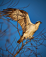 Osprey taking off from a tree at Fort De Soto Park. Pinellas County, Florida Image taken with a Fuji X-T2 camera and 100-400 mm OIS lens (ISO 200, 400 mm, f/5.6, 1/1100 sec).