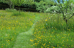 Mown path through the meadow of buttercups at Great Dixter