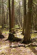 Cedar trees; The Ridges Sanctuary, Baileys Harbor, Wisconsin.