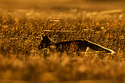 A young red fox (Vulpes vulpes) kit is rendered in near silhouette as it attempts runs through tall grass in San Juan Island National Historical Park on San Juan Island, Washington. This young kit is black, although all of the foxes in the park are technically red foxes, regardless of their color. Red foxes were introduced to San Juan Island on various occasions in the 1900s.