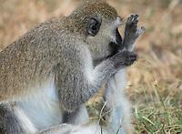 Black-faced Vervet Monkeys, Chlorocebus pygerythrus, grooming in Tarangire National Park, Tanzania