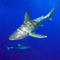 sandbar shark, .Carcharhinus plumbeus, .North Shore, Oahu, Hawaii (Pacific).