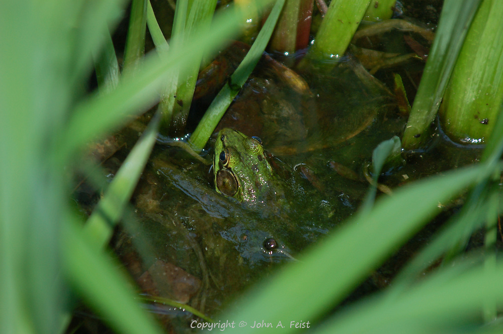 A frog hiding in the lilies of our friends' pond in Flagtown, NJ